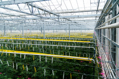 In 2019, 260 hectares of new greenhouses will be put into operation in Russia